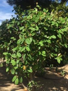 Cotoneaster coriaceus